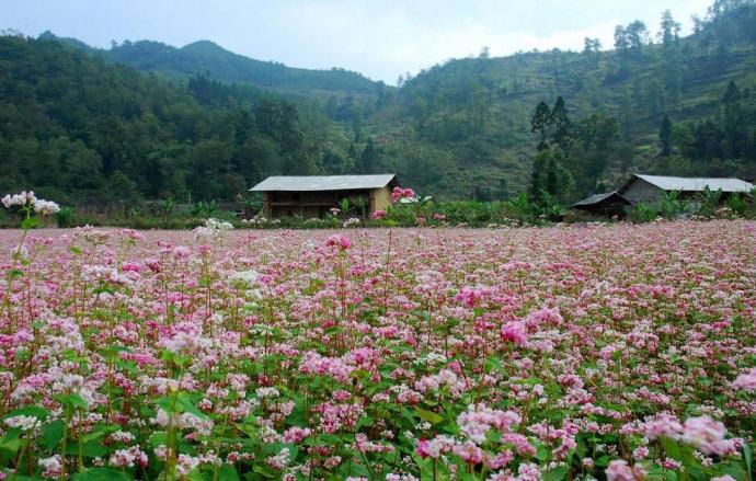 Hà Giang - mùa hoa tam giác mạch nhuộm thắm sườn đồi - ảnh 1