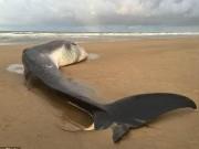 Thế giới - Cá voi lưng xám khổng lồ 12m dạt bờ biển nước Anh