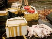 Thị trường - Tiêu dùng - Phát hiện ô tô chở gần 700kg thịt chó, mèo không rõ xuất xứ