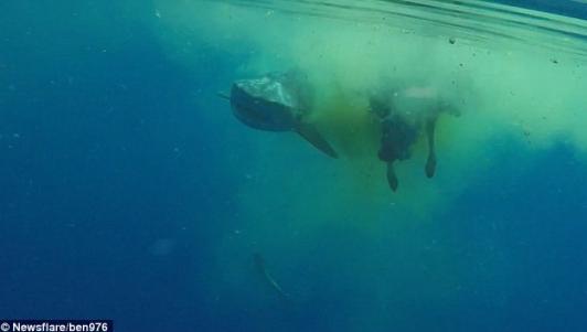 Video: Cá mập hổ dài 5 mét xé xác bò ở Ấn Độ Dương