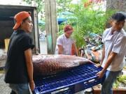Tin tức trong ngày - Mua cặp cá quý của sông Mê Kông giá 200 triệu đồng