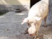 Thế giới - Quốc gia chỉ có đúng một con lợn