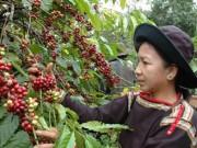 Thị trường - Tiêu dùng - Xuất khẩu nông sản năm 2016: Gạo hụt hơi, cà phê bứt phá