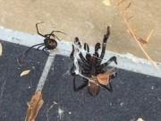 Phi thường - kỳ quặc - Nhện phễu khổng lồ cực độc bị nhện lưng đỏ đánh te tua