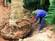 """Tin tức trong ngày - """"Cụ cây"""" Kim Mã được chăm sóc bằng thảo dược và thuốc quý"""