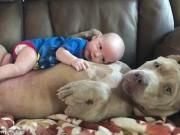 Phi thường - kỳ quặc - Video: Chó khổng lồ dỗ trẻ em dịu dàng như người mẹ