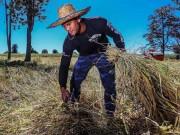 """Thể thao - """"Chán"""" đánh đấm, """"Thánh Muay Thái"""" về quê gặt lúa"""