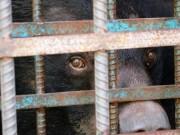 Tin tức trong ngày - Hy hữu chuyện 4 chú gấu muốn tự tử tại Gia Lai