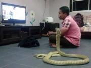 Phi thường - kỳ quặc - Chàng trai cưới rắn hổ mang khổng lồ làm vợ