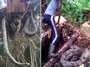 Phi thường - kỳ quặc - Nhổ cây, suýt té xỉu vì lôi lên cả một con trăn khổng lồ