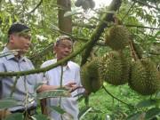 Thị trường - Tiêu dùng - Nông dân vùng ngập lũ lãi lớn nhờ trồng sầu riêng
