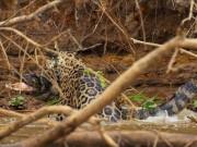 Thế giới - Video: Báo đốm ra đòn hiểm, hạ gục cá sấu khổng lồ