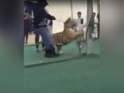 Thế giới - Bé gái bị hổ dữ tấn công giữa chợ ở Ả Rập Saudi