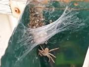 Phi thường - kỳ quặc - Mở hộp thư, kinh hoàng phát hiện nhện thợ săn mẹ và hàng trăm nhện con