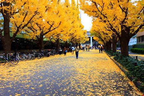 Đẹp mê say mùa lá vàng ở nhật bản - 1