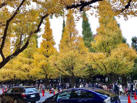 Đẹp mê say mùa lá vàng ở nhật bản - 7