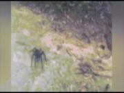 Phi thường - kỳ quặc - Hoảng hốt với nhện to như rùa chui ra từ bụi rậm