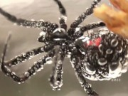 Phi thường - kỳ quặc - Kinh hãi nhện góa phụ đen bị dìm dưới nước 3 giờ vẫn sống