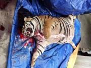 Xót xa chú hổ nặng 300kg bị cắt tiết, nấu cao