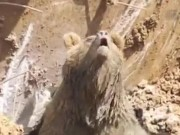 Phi thường - kỳ quặc - TNK: Đào hố dưới đất, gấu nâu bỗng nhiên chui ra