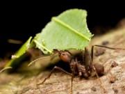 Phi thường - kỳ quặc - Kiến biết trồng cây trước loài người hàng triệu năm