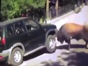 Phi thường - kỳ quặc - Bò rừng điên cuồng húc, nâng bổng xe hơi chở người