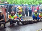 Thế giới - Malaysia: Bắt mãng xà khổng lồ 100 kg nuốt chửng con dê