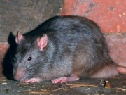 Phi thường - kỳ quặc - Đang ăn bánh bỗng thấy chuột khổng lồ tha bánh nhảy qua