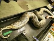 Thế giới - Mỹ: Mổ trăn khổng lồ dài 5m phát hiện xác 3 con hươu