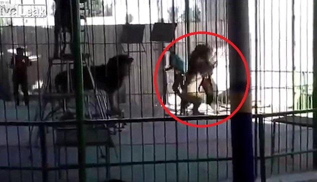 Sư tử bất ngờ cắn cổ huấn luyện viên ở rạp xiếc Ai Cập - ảnh 1