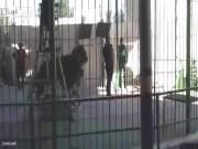 Thế giới - Sư tử bất ngờ cắn cổ huấn luyện viên ở rạp xiếc Ai Cập