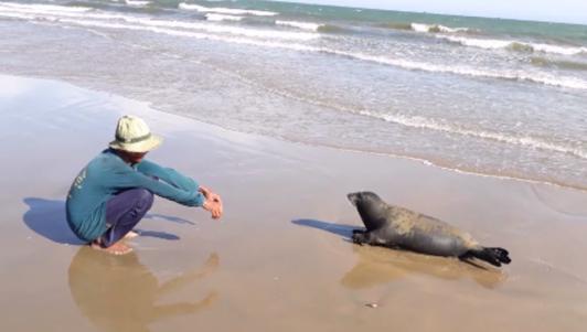 Ngắm hải cẩu lên bờ chơi đùa với người dân Bình Thuận