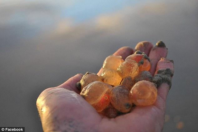 Hàng nghìn sinh vật bí ẩn dạt vào bờ biển Mỹ - 1