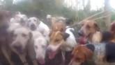 Cuộc chiến không cân sức giữa cáo và 20 con chó