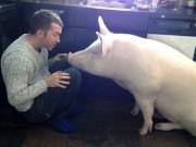 Truyện cười - Truyện cười: Cuộc tình sét đánh nuôi cả đàn lợn