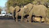Kì lạ cảnh voi chặn hàng loạt ô tô để con nhỏ qua đường