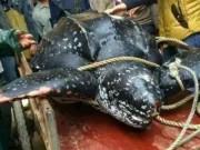 Thế giới - Rùa biển quý hiếm nặng 4 tạ bị dân Trung Quốc xẻ thịt