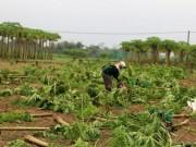 Thị trường - Tiêu dùng - Người dân Quảng Nam mất trắng vụ rau Tết tiền tỷ