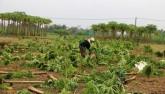 Người dân Quảng Nam mất trắng vụ rau Tết tiền tỷ
