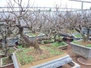 Thị trường - Tiêu dùng - Vườn đào Nhật Tân bạc tỷ lắp điều hòa để bung hoa đúng Tết