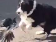 Phi thường - kỳ quặc - Video: Chó hùng hục đuổi theo chim và kết cục sửng sốt