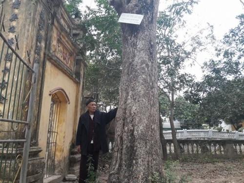 """Đi tìm đại gia gỗ Đồng Kỵ chi chục tỷ mua """"cụ"""" sưa 200 tuổi ở Bắc Ninh - 3"""