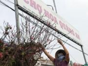 Tin tức trong ngày - Đào Nhật Tân bung nở rực rỡ từ vườn ra phố đón Tết sớm