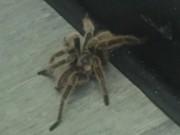 Phi thường - kỳ quặc - Đang đi vệ sinh bỗng thấy nhện khổng lồ lừ lừ bò tới