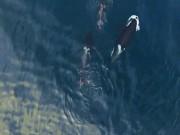 """Thế giới - Cận cảnh cá voi sát thủ """"ăn tươi nuốt sống"""" cá mập"""