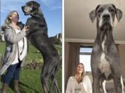 Phi thường - kỳ quặc - Chú chó lớn nhất thế giới nặng 90kg, cao 2,2m