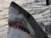 Thế giới - Mỹ: Kéo câu, kinh ngạc thấy cá mập khổng lồ trồi lên