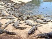 Thị trường - Tiêu dùng - Khóc ròng vì cá sấu