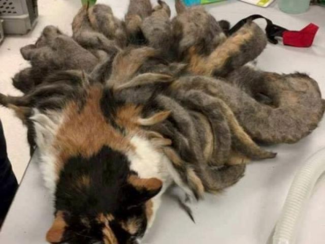 Mèo hoang mọc lông như hồ ly 9 đuôi
