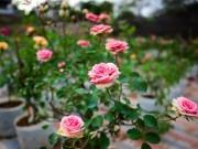 Tin tức trong ngày - Ngắm vườn hồng siêu lạ, siêu hiếm, hút hồn dân chơi dịp Tết